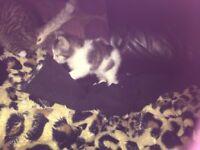 Beautiful maincoon x kittens