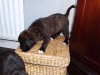 Amazing brindle puppy