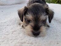 Miniture schnauzer puppies