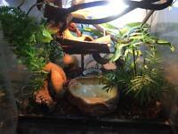 Young green iguana + set up