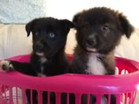 Pomsky puppies for sale!!