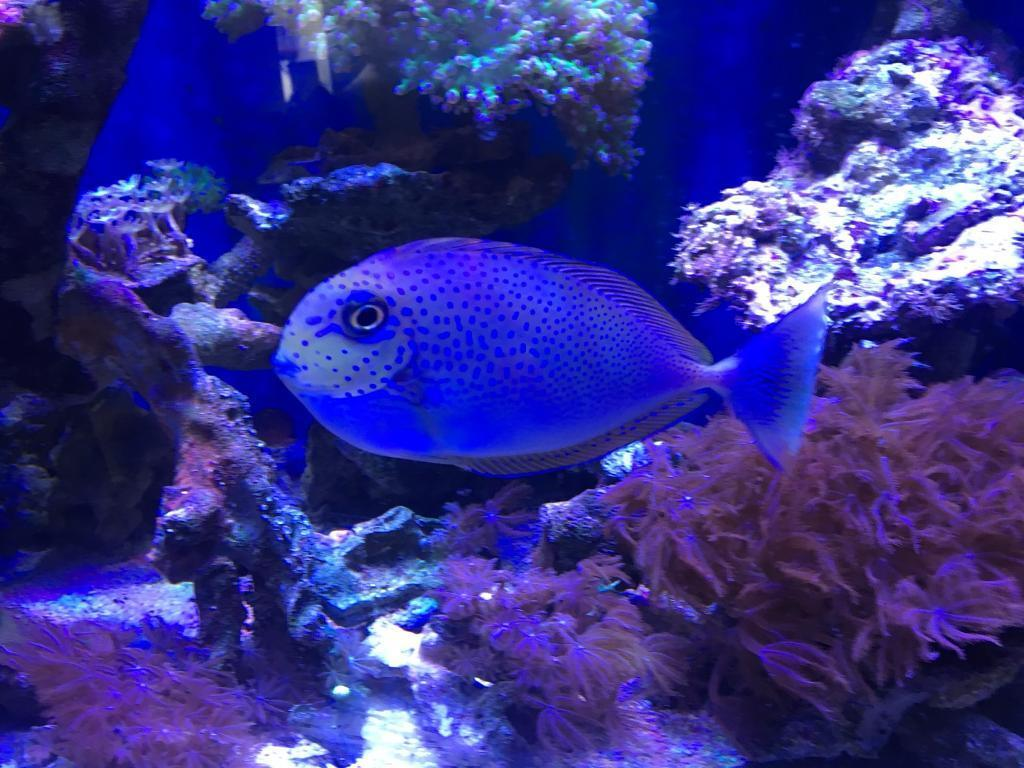 Blue spotted naso tang - marine fish | in Norwich, Norfolk ...