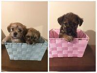 Yoshion pups