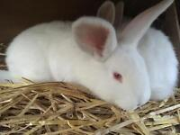 New Zealand x Californian 8 week old rabbits ready to go now!