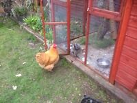 Buff Orpington Cockerel, looking for new home.