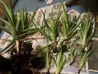 Organic Aloe Vera plants