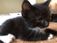 Beautiful black and white kitten for sale