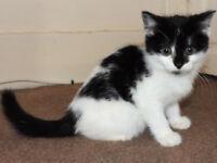 <> Adorable BSH cross kittens <>