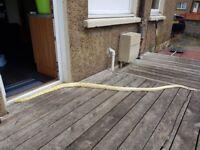 Albino Burmese python with setup if required.