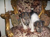 Beautiful Fox Terrier Puppies