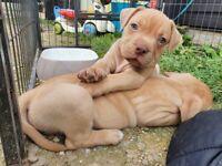 Beautiful xl bully puppy