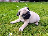Registered pug boy puppies - 2 available!