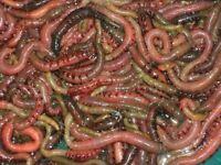 Quality Fresh Lugworm for sale