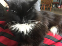Lovely Black and White fluffy cat --- lost in Trevellas area near St Agnes, Cornwall