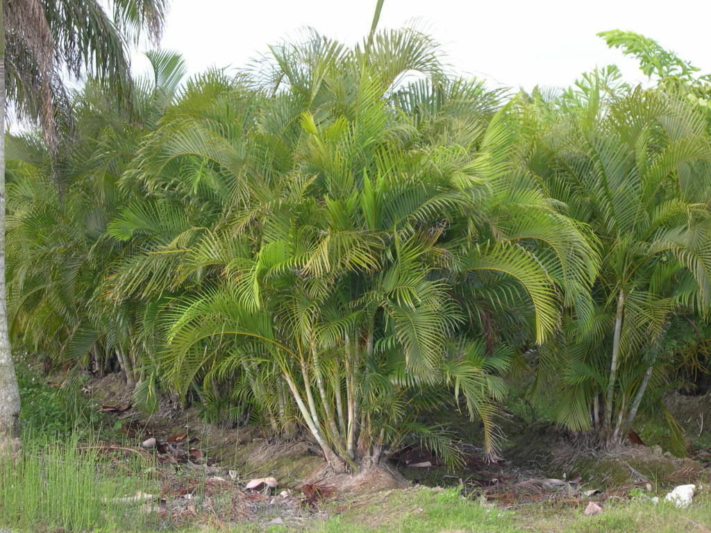 How to grow areca palm ebay for Pictures of areca palm plants