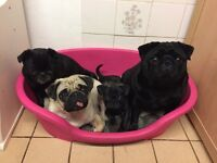 Frug pug Frenchie rare blue brindle puppy ready now