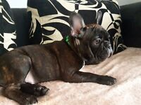 French bulldog puppies males only