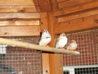 Zebra Finches, cocks and hens, various colours