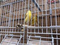Canarys Raza