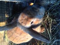 1 yr old male chamois rabbit