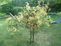 Two mature dwarf apple trees, cooker and eater