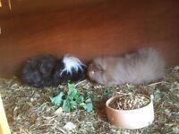 Guinea Pig pair