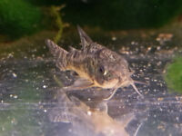 Peppered Corys - Community Tropical FIsh