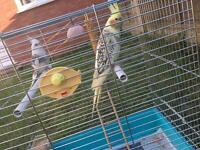 Selling birds and cage