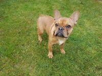 French Bulldog. Loving and beautiful puppy