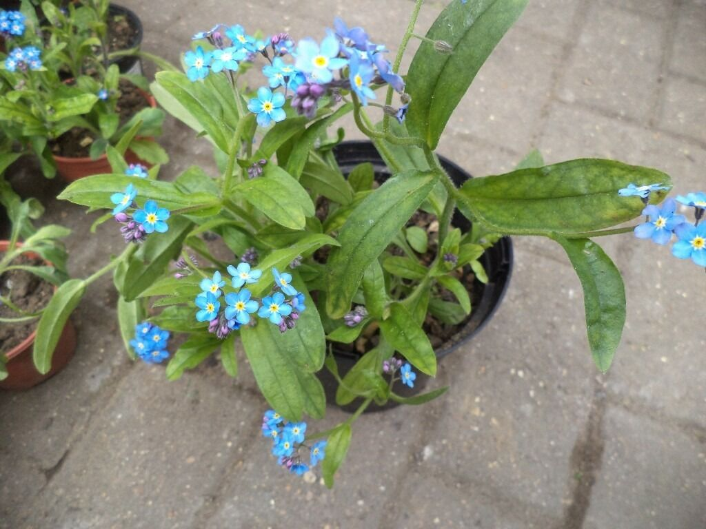 Forget Me Not Plants In A 15 Cm Plastic Pot In North London