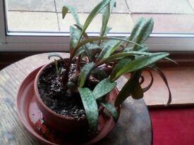Wood Hyacinth (Ledeboura socialis) (Silver Squill)