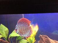 Stunning Discus fish for sale