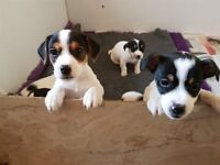 Miniature Jack Russel pups