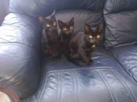 Black kitties looking for good home