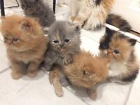Beautiful litter of pedigree Persian kittens