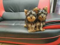 2 GIRS Yorkshire Terrier for sale