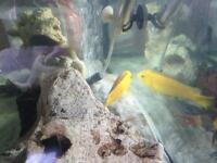 THREE LARGE CICHLIDS - 6 INCHES PLUS - MUST GO TOGETHER