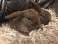 Chocolate mini lop bunnies 10wk old very tame and friendly