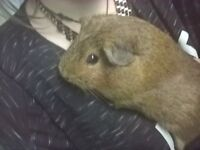 female brown guinea pig 1 year old