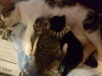 Male and female kitten for sale