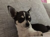 Stunning Tri Color Chihuahua Puppy For Sale