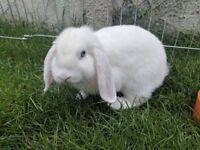Mini lop Rabbit with Hutch, run, food and hay