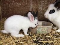 Does , bunnies, bunny for sale