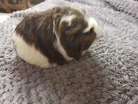Guinea Pig Girl
