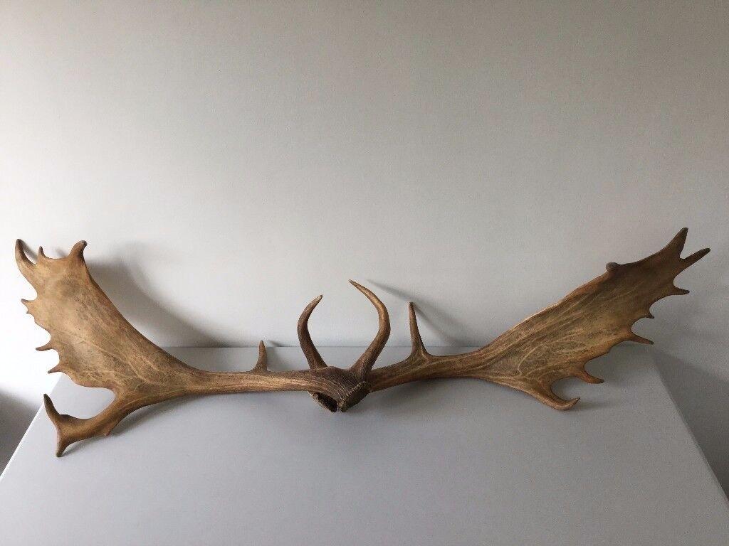 Pair of Deer Antlers/Taxidermy