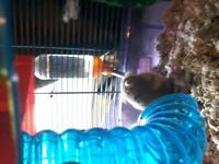 2 dwarf hamsters and 2 level cage