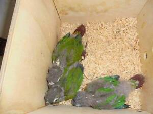 Pineapple Conures - Lovingly Hand-Reared Torquay Fraser Coast Preview
