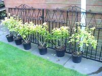 SIX CHOISYA PLANTS