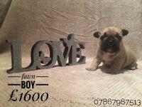 Amazing QULITY French bulldog puppies kc registered