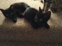 9 weeks old kittens half British short haired and half Bengal £80.00 each 1 boy 2 girls